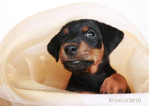 jagdterrier puppies 53 best ideas about jagdterrier on terrier puppies terrier and
