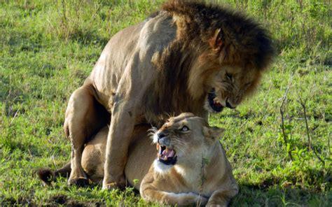 apareamiento animales salvajes biolog 205 a reproducci 211 n animal