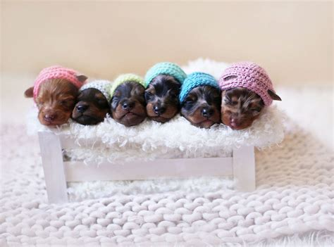 newborn puppy photoshoot proud sausage poses with 6 tiny sausages for maternity photoshoot bored panda