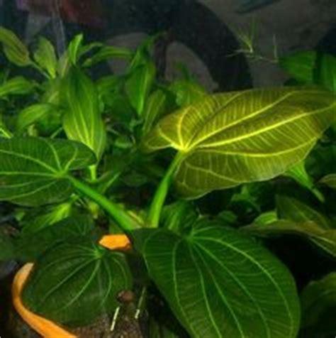 Tanaman Aquascape Echinodorus Joyo echinodorus plant this a relatively easy to grow sword and smaller than most such