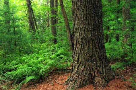 michigan tree michigan state tree eastern white pine