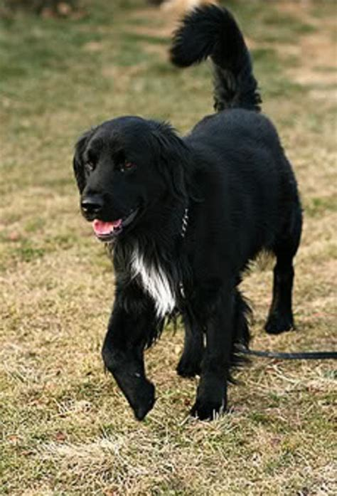 why are golden retrievers called golden retrievers border collie history
