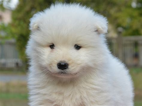 samoyed puppy for sale snowman samoyed puppy for sale puppy