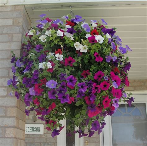 petunia basket flowers pinterest