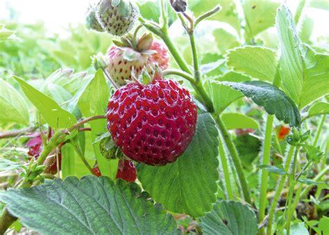 Erdbeere Mieze 2019 by Bild Die Erdbeersorte Mieze Schindler Seite 4269