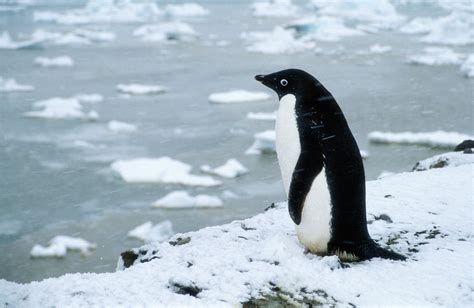 Adelie Penguin Wallpaper | Collection 13+ Wallpapers