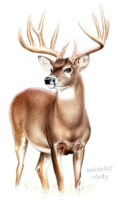 Wildlife Art by Ken Oliver at Coroflot.com Whitetail Buck Drawings