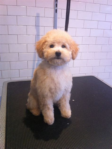 haircutsfordogs poodlemix 15 best puppy cuts images on pinterest puppies animals
