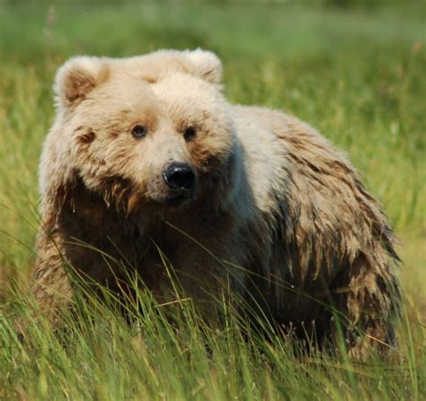 grizzly bear physiology grizzly bear blog