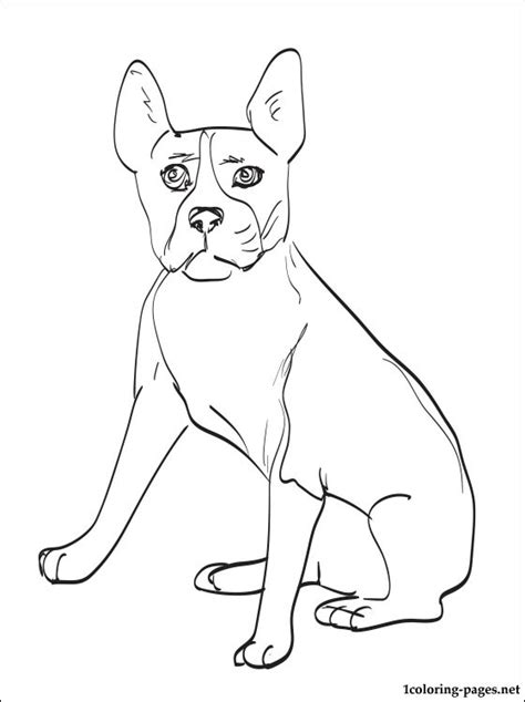 boston terrier coloring page coloring pages