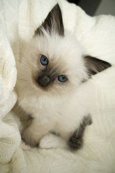 rag doll slang lilac point siamese cats to get a lynx point kitten