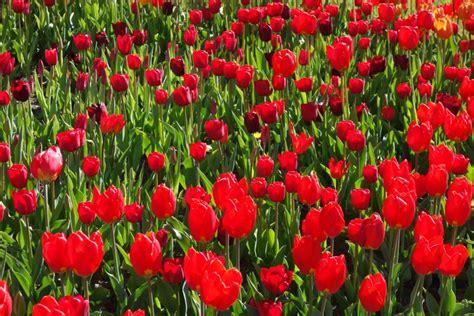 britzer garten tulipan tulipan im britzer garten tulpen parade in berlin