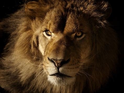 imagenes de leones fantasia fondo escritorio leones fondos leones para fondo de