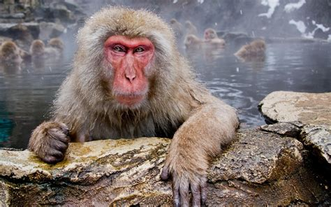 Japanese Macaque Full HD Wallpaper and Background ...