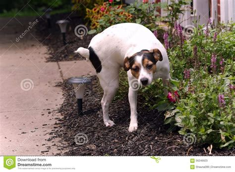 puppy pees all the time terrier on plants stock photo image 56246923