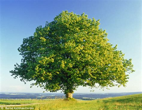 trees uk britain s oak trees are threat from xylella disease