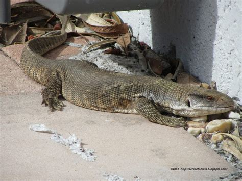 Big Lizard In Backyard by Large Monitor Lizard In Florida Backyard
