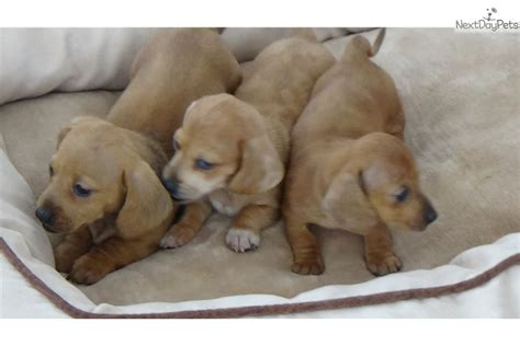 dachshund puppies for sale in sc akc mini dachshund puppies dachshund puppy for sale in greenville sc
