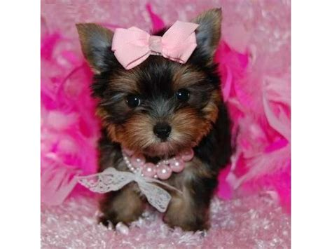 will my yorkie stay black and terrier teacup yorkie teddy doll faces animals buffalo