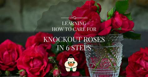 learning how to care for knockout roses in 6 steps sumo gardener