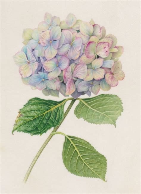 botanical painting in gouache 184994265x best 25 hydrangea painting ideas on paint flowers painting flowers and painting