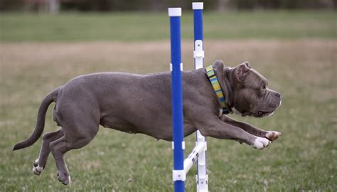 agility competition agility competitions how to start science on risks pros cons