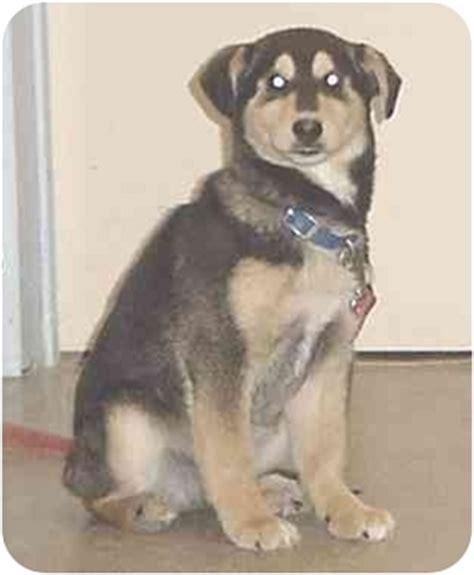 rottweiler rescue mn adopted mn husky rottweiler mix