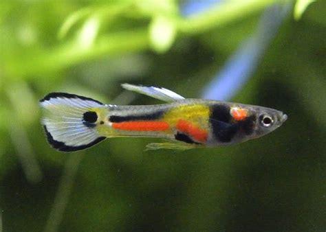 aquarium design for guppies 343 best guppies images on pinterest fish aquariums
