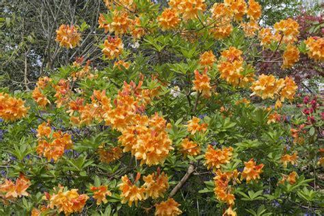 orange flower shrub free stock photos rgbstock free stock images orange