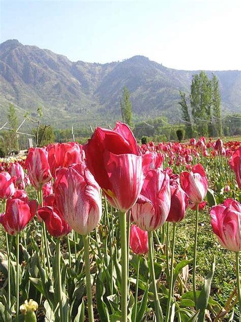 Kashmir Tulip Garden Tulips Garden And Pakistan Tulip Flower Garden In India