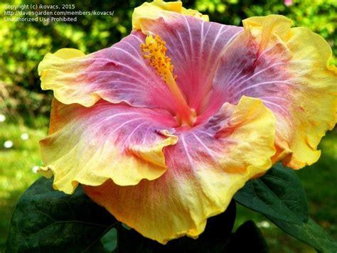 hibiscus rug plantfiles pictures tropical hibiscus rug hibiscus rosa sinensis by ecrane3