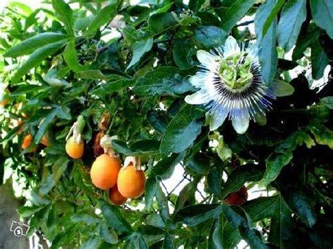 fiori x balconi piante passiflora cerulea x siepi balconi a monfalcone