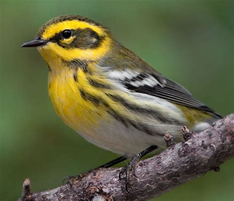 bird species townsend s warbler