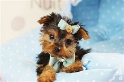 yorkie puppies for adoption in atlanta ga excellent teacup yorkie ready for adoption for sale in atlanta classified