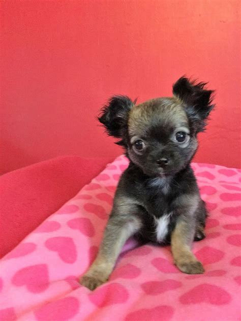 chihuahua puppies for sale in 4 chihuahua puppies for sale stockport greater manchester pets4homes