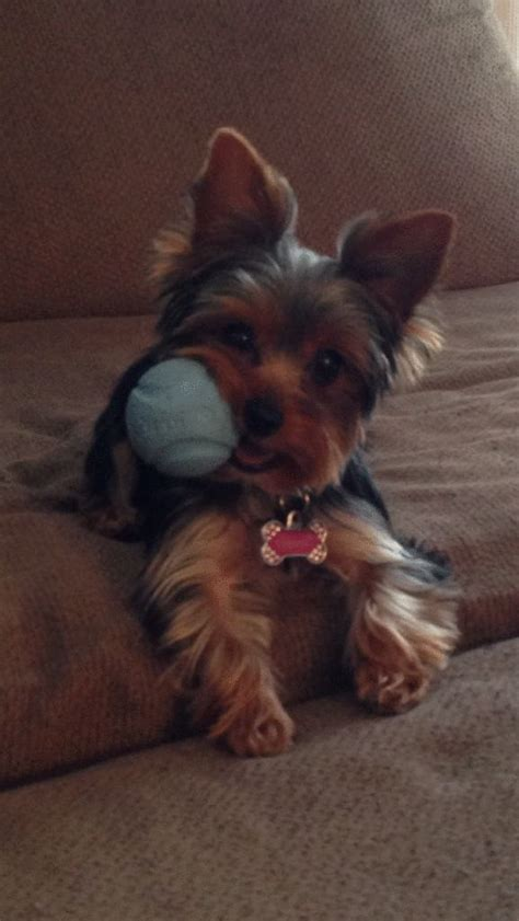 short yorkie haircuts pictures only 421 best images about terriers on pinterest yorkshire