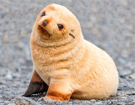 imagenes de focas blancas galer 237 a de im 225 genes fotos de focas beb 233 s