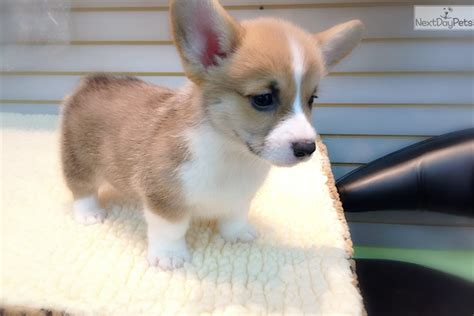 corgi puppies for sale ny corgi puppy for sale near new york city new york bd1fdf57 efc1