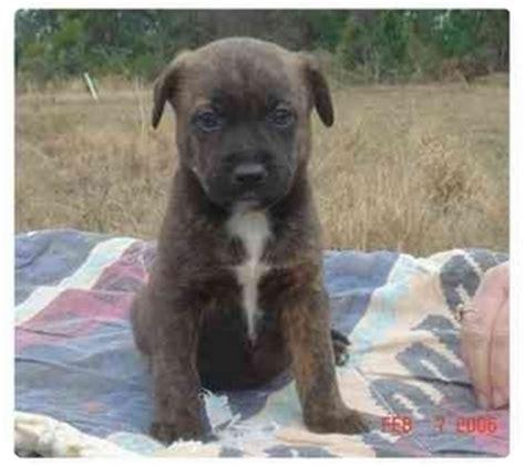 boxer puppies orlando florida puppies adopted puppy referral orlando fl australian shepherd boxer mix
