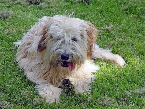 soft coated wheaten terrier dog breed information image gallery wheaten color