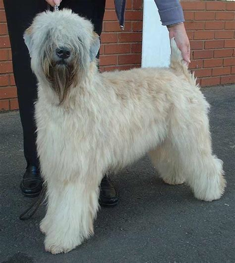 soft coated wheaten terrier dog breed information soft coated wheaten terrier 187 info pictures more