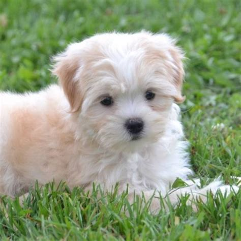 havanese puppies for sale alberta havanese puppies beautiful nonshedding teddy bears for sale in edmonton alberta