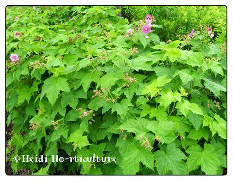 flowering raspberry shrub heidi horticulture plant profile rubus odoratus