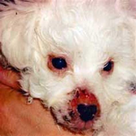 puppy strangles treatment devonia bolognese dogs morse s page devonia s altivita
