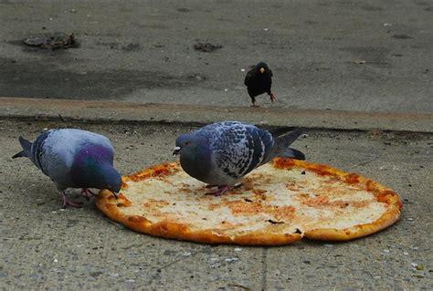 snowbio pigeon