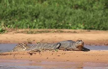 imagenes gif jaguar gif leopardo a la caza del cocodrilo gif 4669