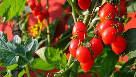 Tomaten Auf Dem Balkon 5347 by Balkongarten Was Zu Beachten Ist