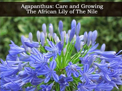 african lily plant care and south africa on pinterest