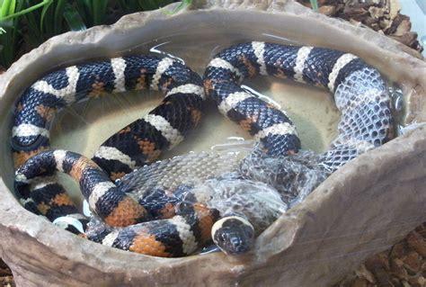 King Snake Shedding file california mountain king snake shedding its skin jpg