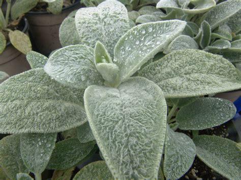 stachys byzantina lamb s ears in my garden pinterest plants gardens and perennials
